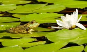 Build a pond - image of frog on lily pad