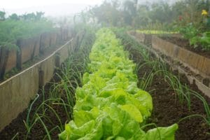 Grow your own vegetables - rows of lettuces