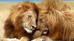 donate to zoos during covid19 - two lions rubbing heads together affectionately.