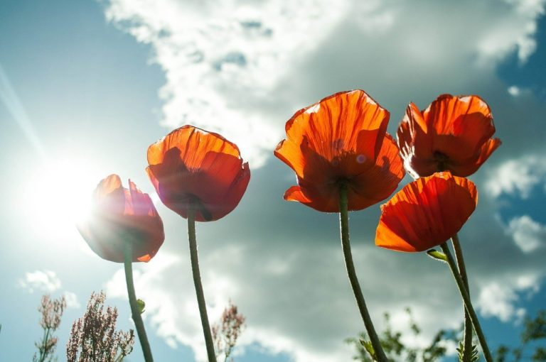 get back to nature - photo of red poppies set against the sky with sunlight streaming through the petals.