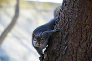 squirrel deterrents - grey squirrel.