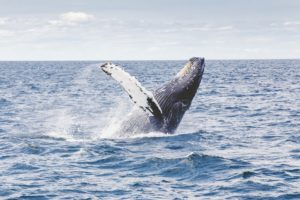 Picture of whale in the ocean to celebrate World Oceans Day