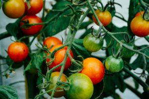Grow tomatoes at home. Bunch of ripe and green tomatoes.