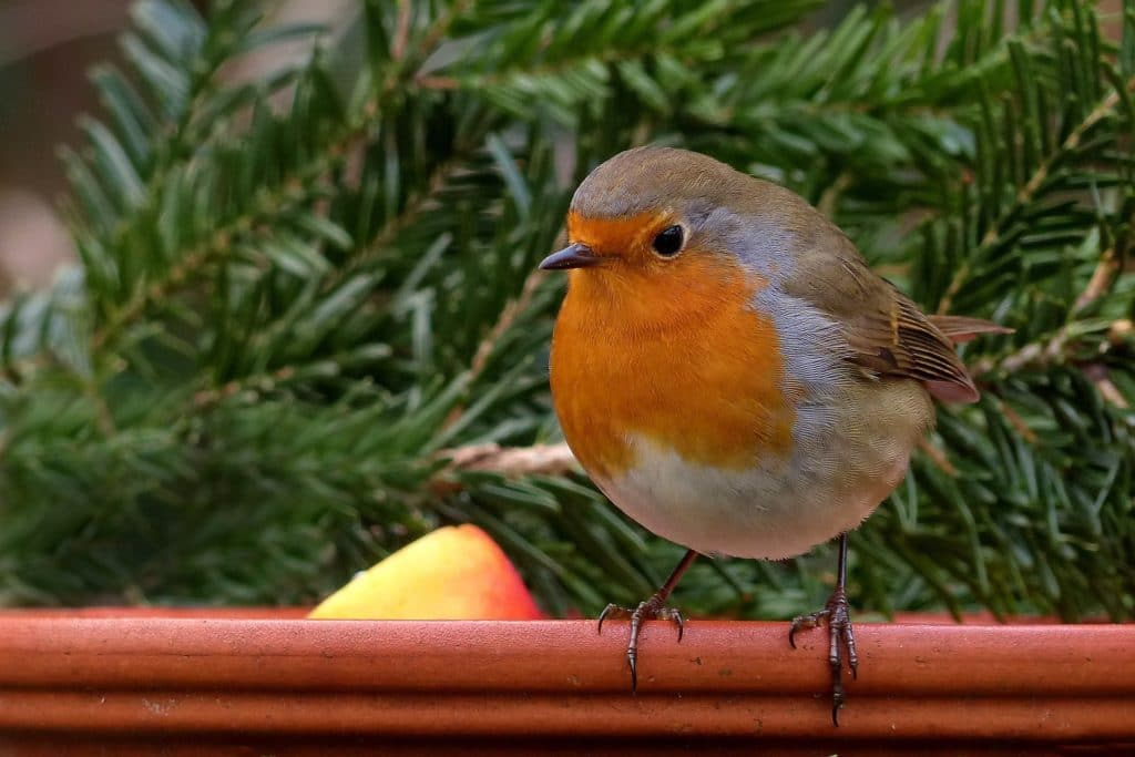 Learn about common garden birds - image of a robin